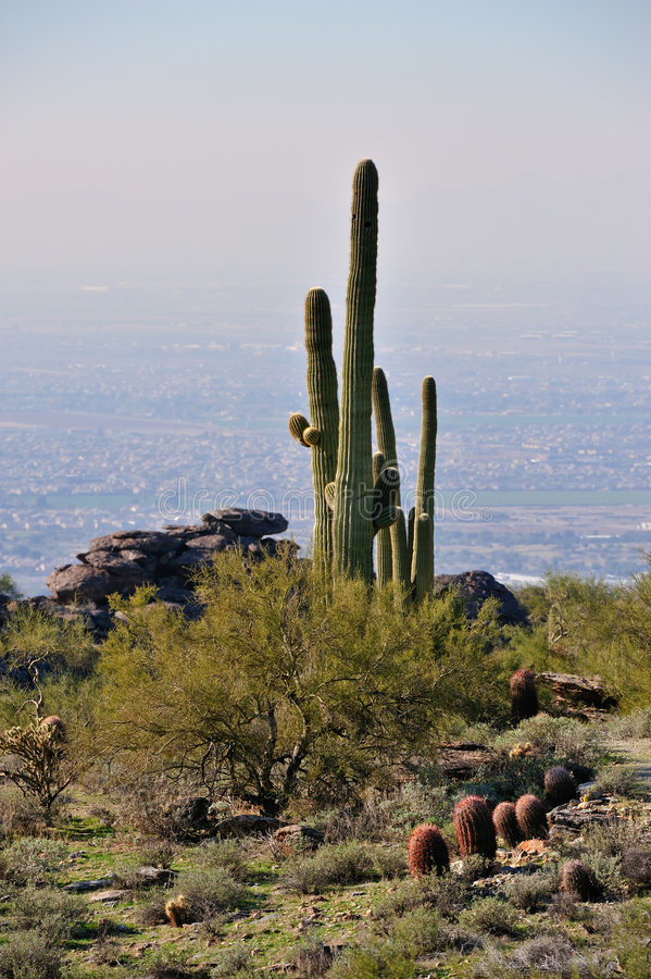 kaktusökensaguaro arkivfoto