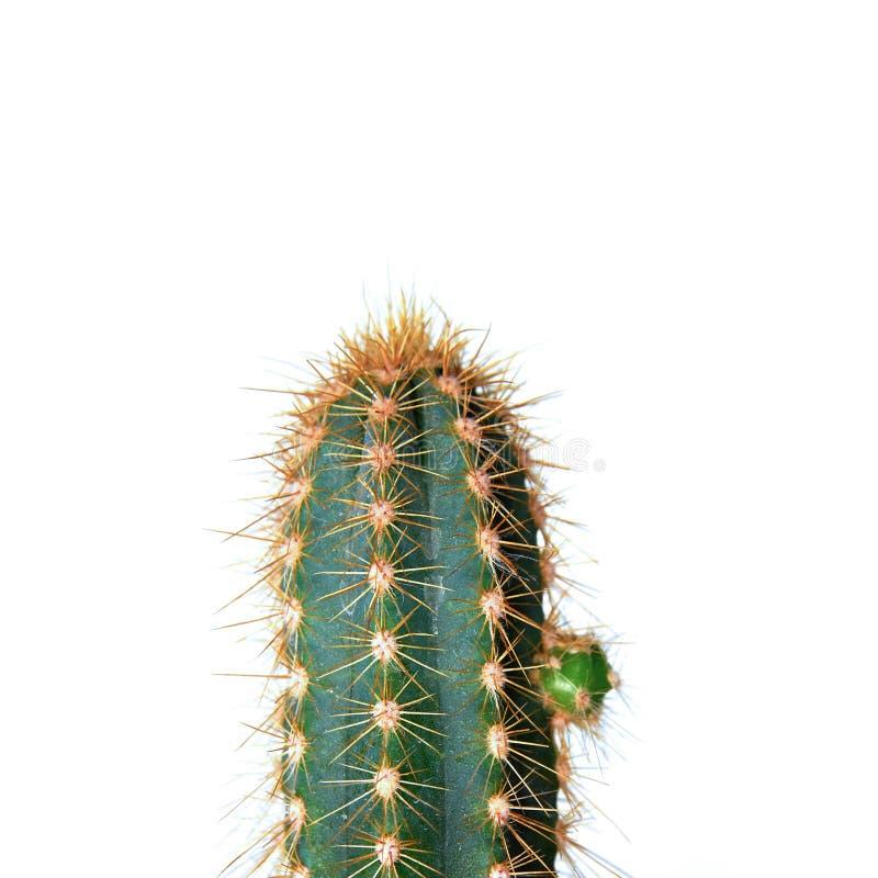 Kaktus über Weiß stockfotos