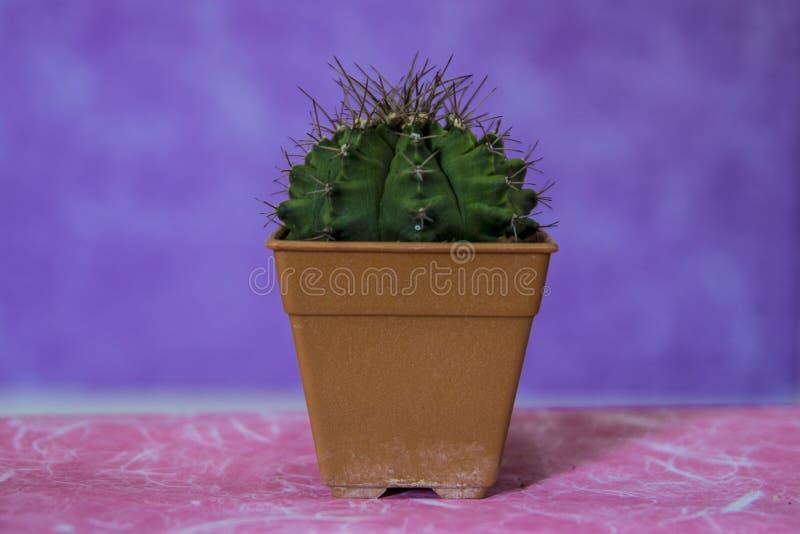 Kaktus 11 royaltyfri bild