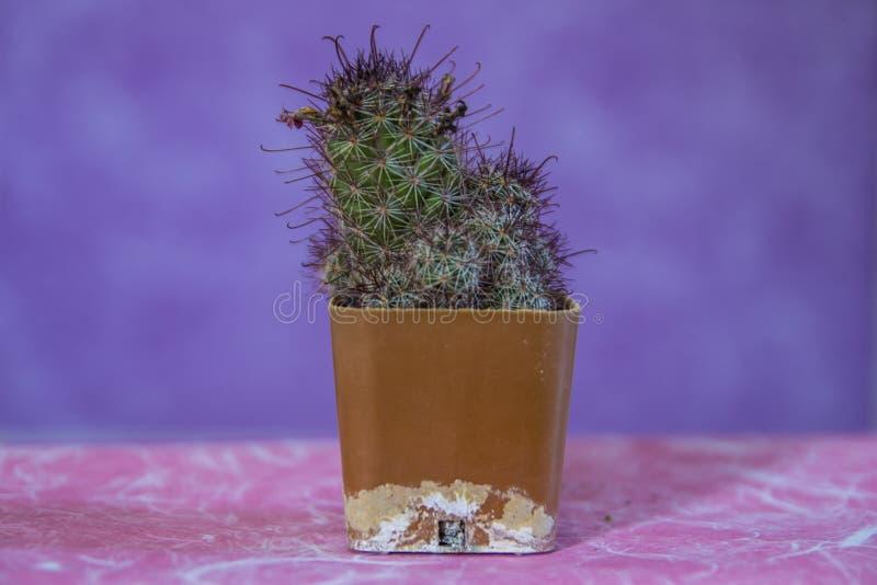 Kaktus 9 arkivfoto