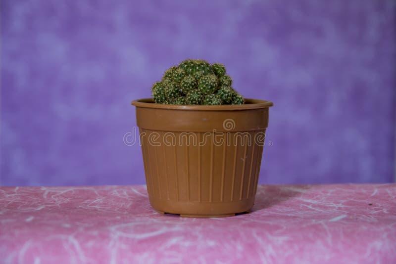 Kaktus 16 arkivbilder