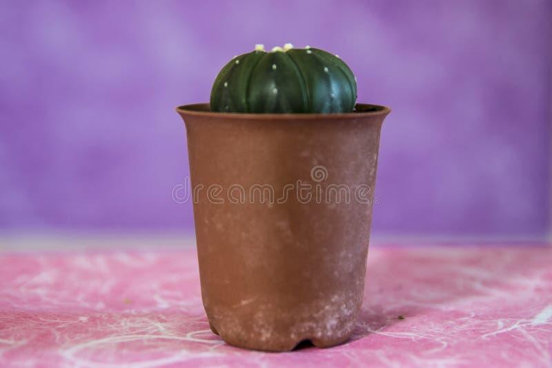 Kaktus 13 arkivfoto