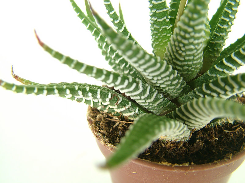Download Kaktus fotografering för bildbyråer. Bild av spets, kruka - 244769
