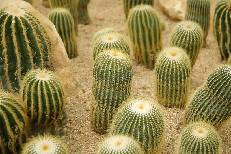 Download Kaktus stockbild. Bild von gelb, nave, kaktus, golden - 26369209