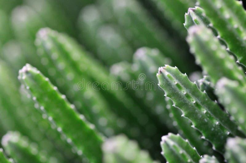 kaktus fotografia royalty free