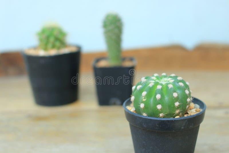kaktus obrazy royalty free