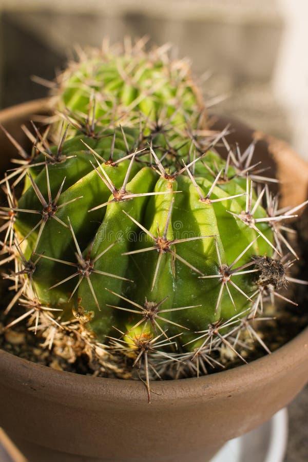 kaktus royaltyfri bild