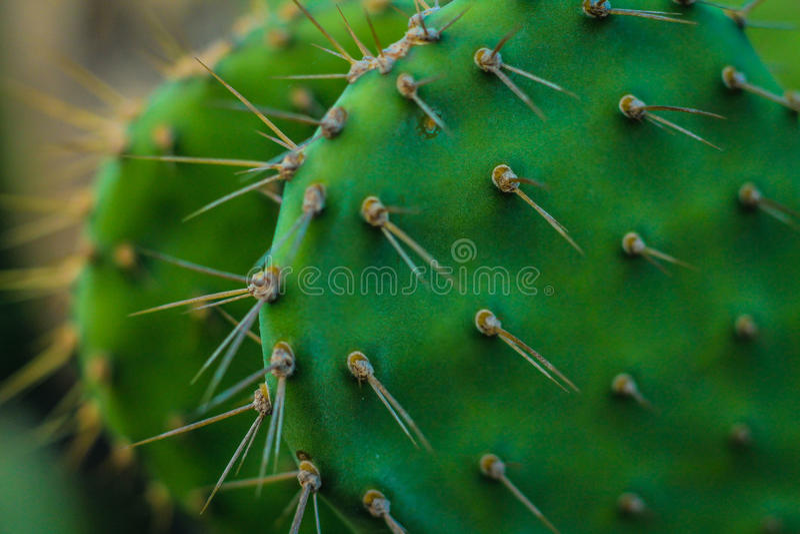 Kaktus Aruba lizenzfreies stockbild