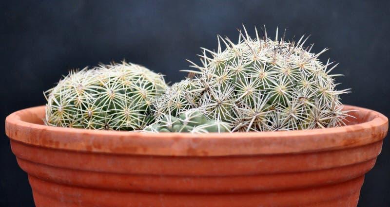 Kaktus auf Tongefäß stockbild