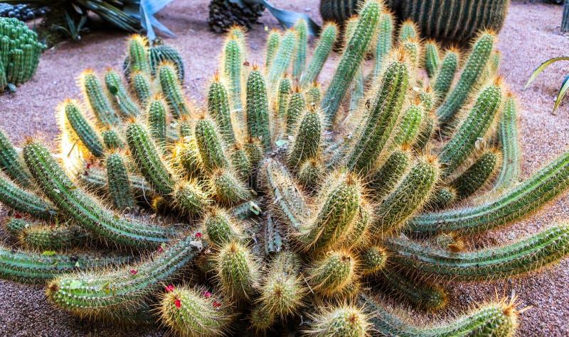 Kaktus av botaniska trädgården i Marrakech, Marocko royaltyfri foto