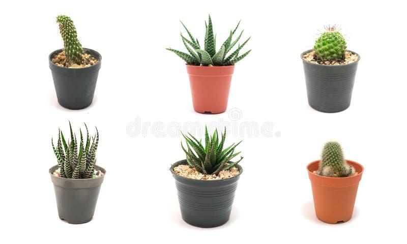 Kaktus-Bäume auf weißem Hintergrund lizenzfreie stockbilder