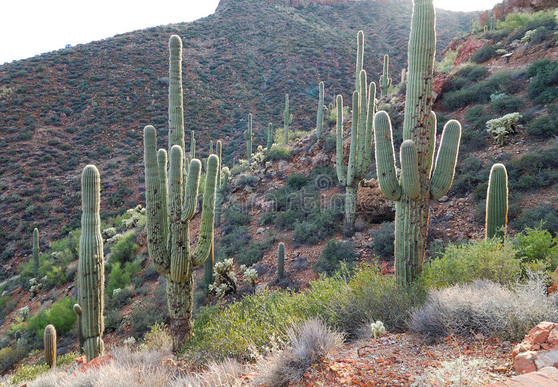 kaktus backlit zdjęcia royalty free