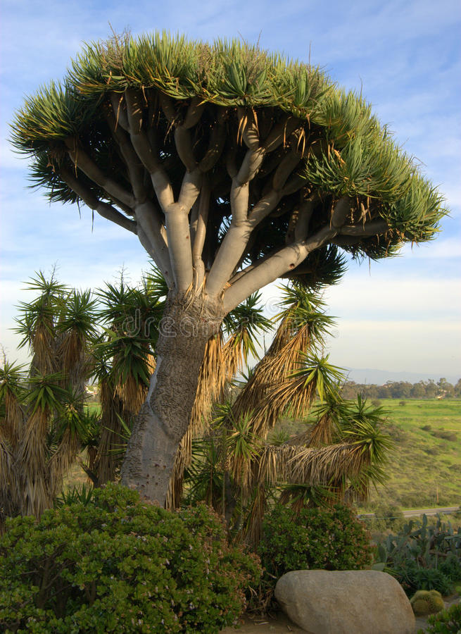 Kaktus-Baum stockbild