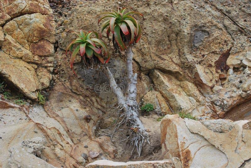 Kaktus-Baum, der aus Felsen heraus wächst stockfotos