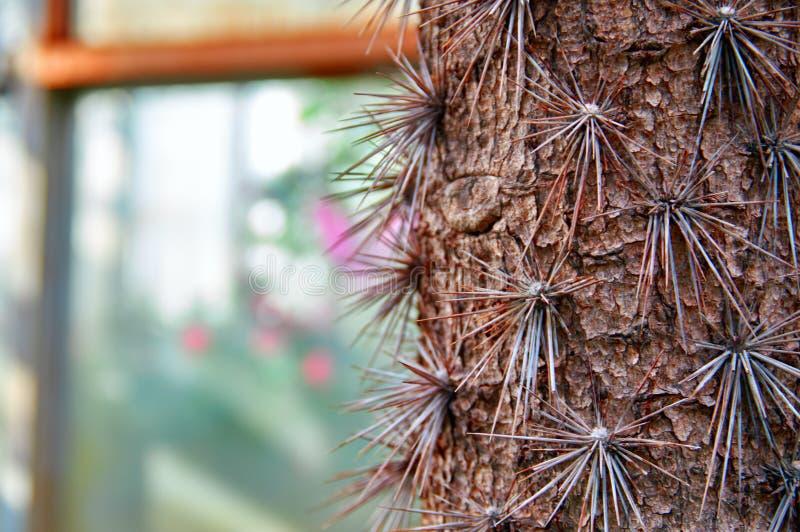 Kaktus-Baum Stamm großes altes Pereskia Pereskia grandifolia Lignified Stamm mit scharfen starken langen Dornen Kopieren Sie Plat lizenzfreie stockbilder