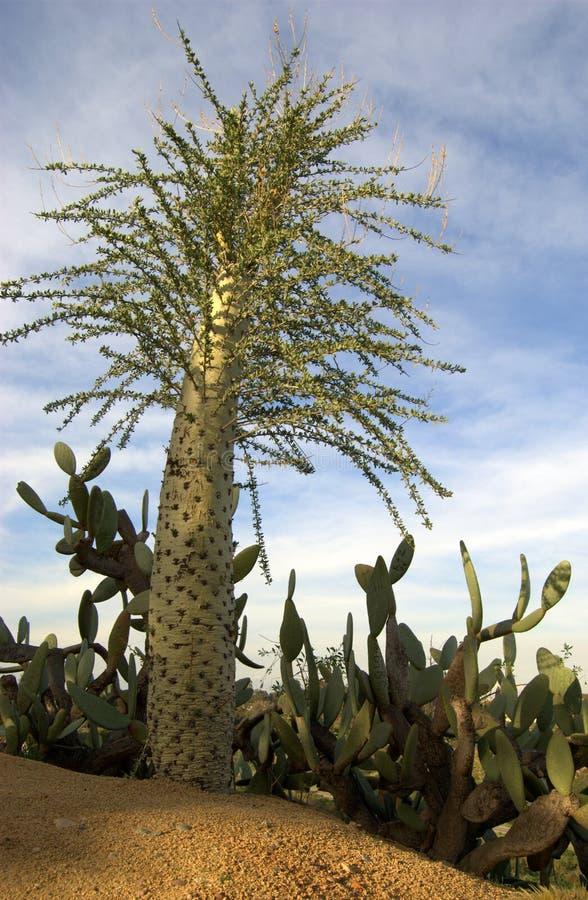Kaktus-Baum und Kaktus. stockfotos