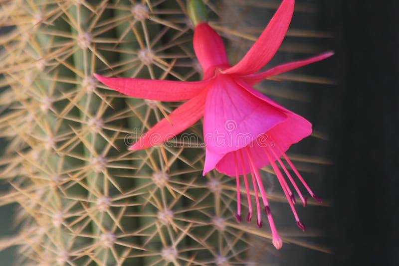 Kaktus-Blumen stockfoto