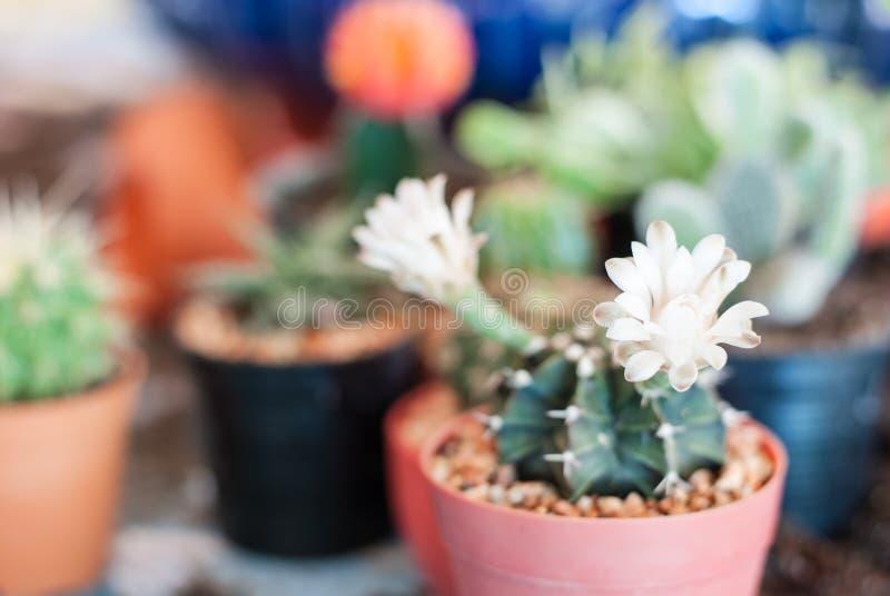 kaktus clumy kwitnienia kwiaty wzrostu jak nowe strony małe zdjęcie stock