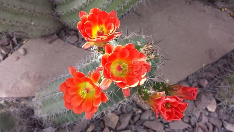 kaktus clumy kwitnienia kwiaty wzrostu jak nowe strony małe obraz stock