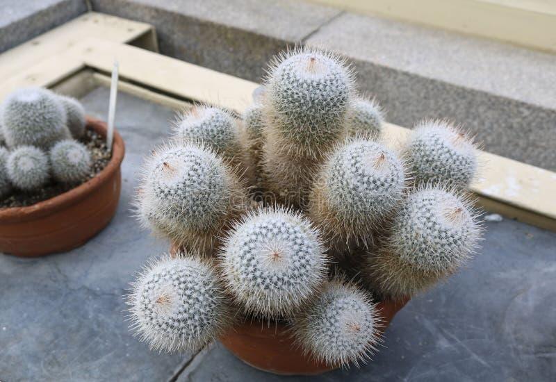 Kaktus in den Potenziometern lizenzfreie stockfotos