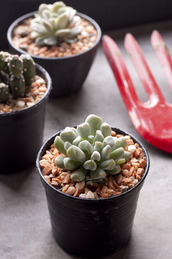 Kaktus in den Töpfen stockfotografie