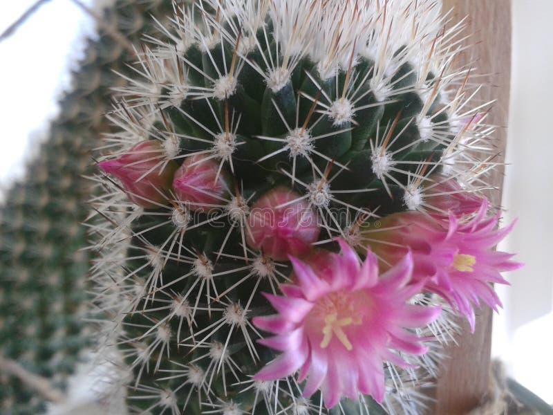 Kaktus in der Blüte lizenzfreie stockbilder