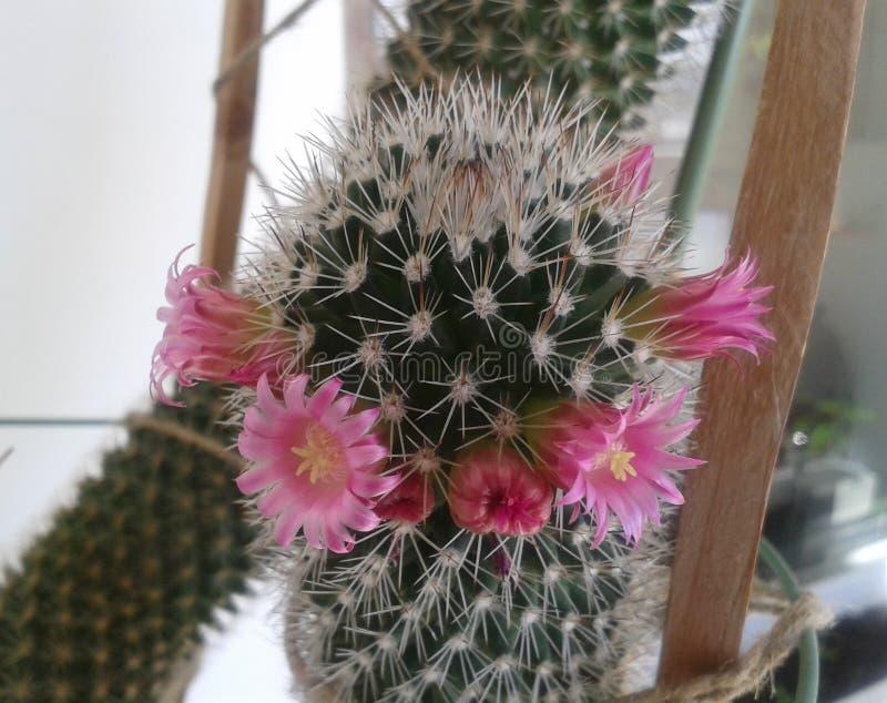 Kaktus in der Blüte lizenzfreies stockbild