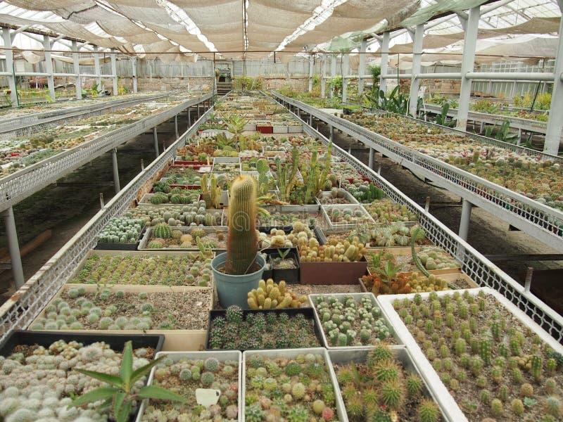 Kaktus, der in einem Gewächshaus wächst stockfoto