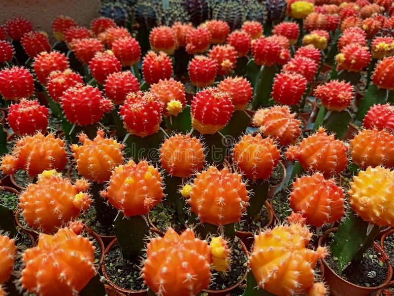 Kaktus der Familie stockbilder