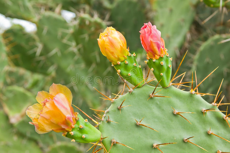 Kaktus der stacheligen Birne lizenzfreies stockbild