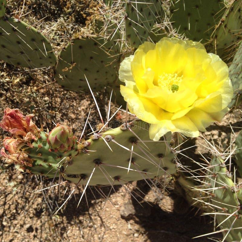 Kaktus der stacheligen Birne in der Blüte lizenzfreie stockfotografie