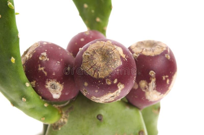 Kaktus der stacheligen Birne (Opuntie ficus-Indica) lizenzfreie stockfotografie