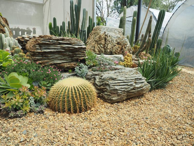 kaktus & x28; Echinocactus grusonii & x29; w ogródzie zdjęcia royalty free