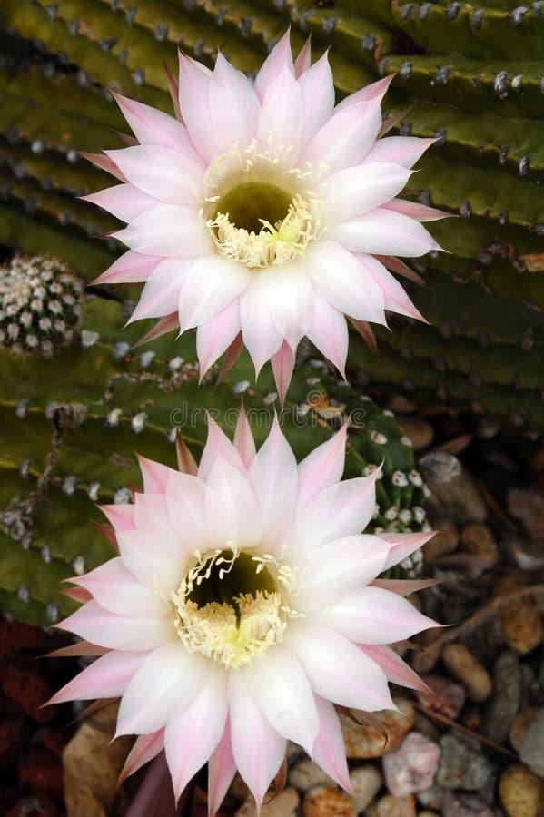 Kaktus Echinopsis stockfoto