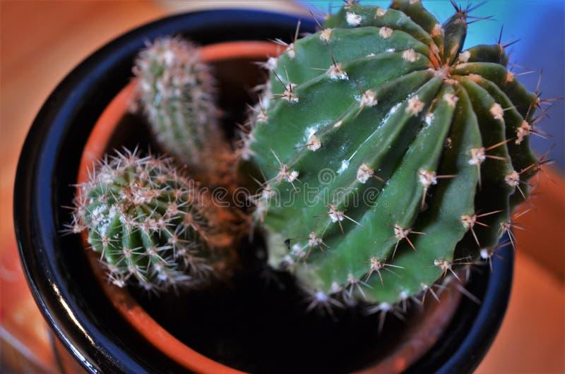 Kaktus in einem Topf als Dekoration für Raum, Haus bezog sich Innen lizenzfreies stockbild
