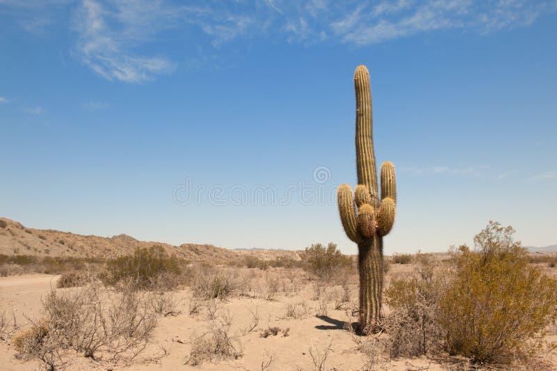 Kaktus in einer Wüstenlandschaft. stockfotografie
