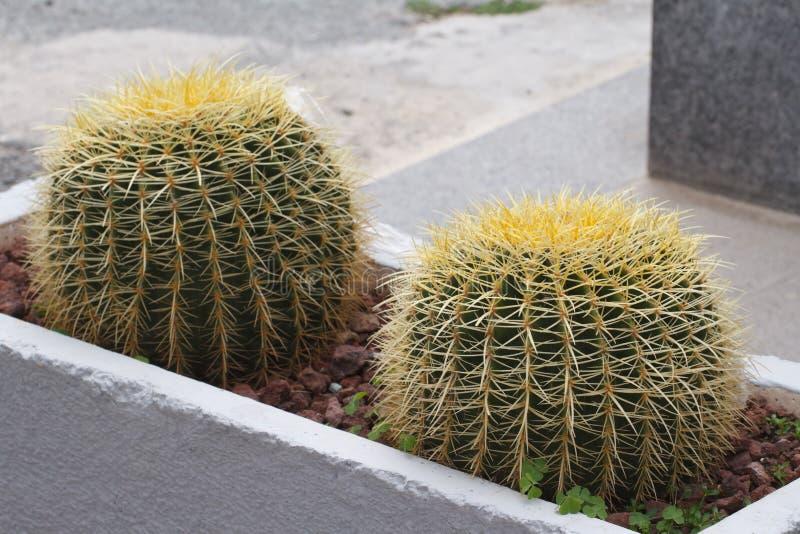Kaktus för guld- trumma i rabatten utanför royaltyfria bilder