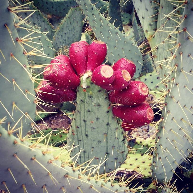 Kaktus för taggigt päron med frukt arkivbilder