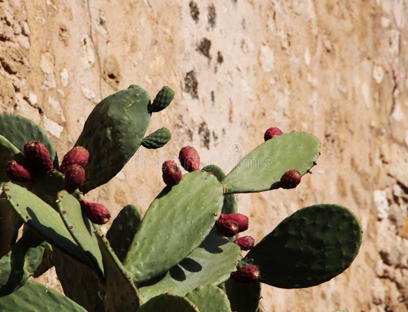 Kaktus för taggigt päron mot en vägg arkivbilder