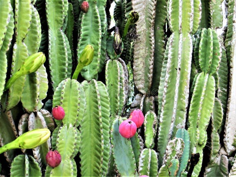 Kaktus för taggigt päron, Tampa, Florida fotografering för bildbyråer