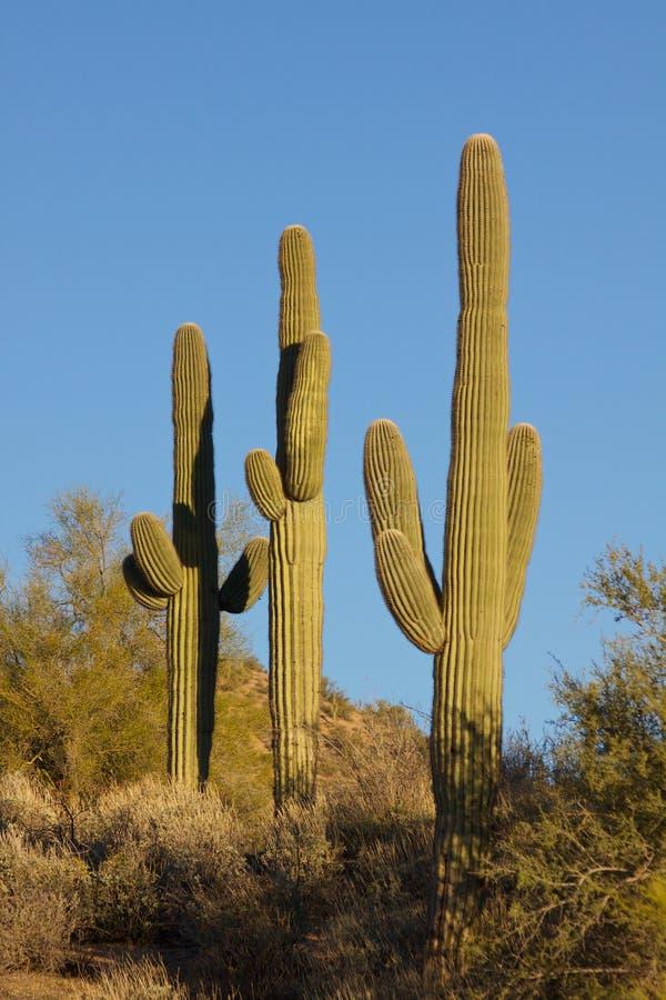Kaktus för tre Saguaro arkivbild