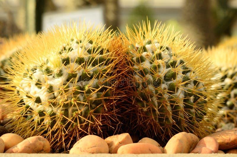 Kaktus, Fackel-Distel lizenzfreies stockbild