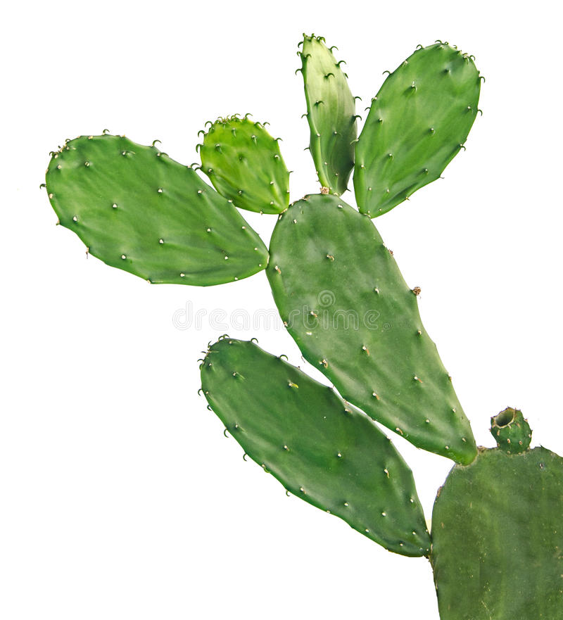 Kaktus getrennt auf Weiß stockfotografie