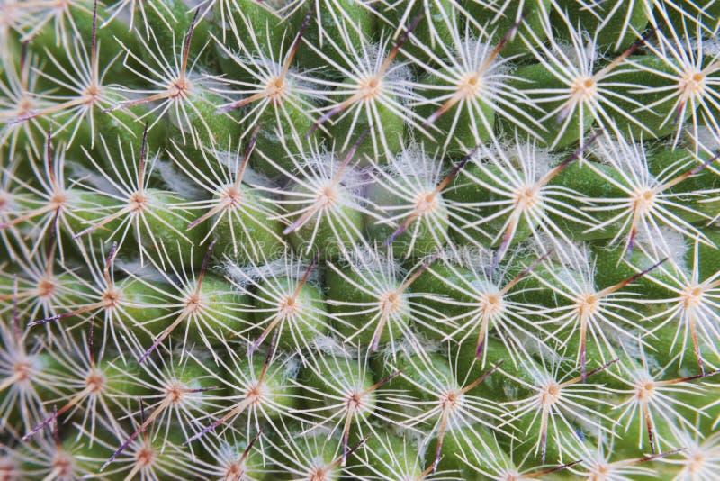 Kaktus Gwoździ natury Houseplant tło obrazy stock