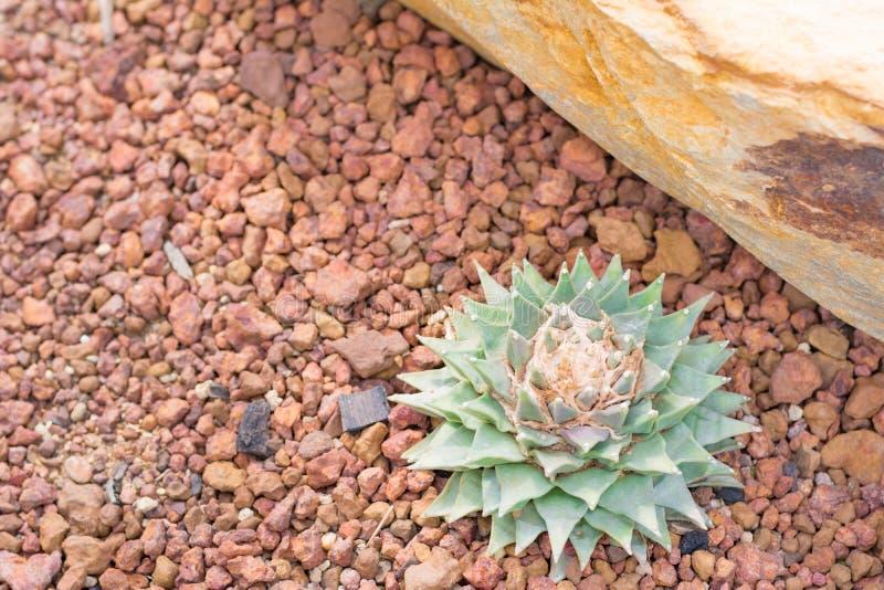 Kaktus i öknen för bakgrund eller tapet royaltyfri foto