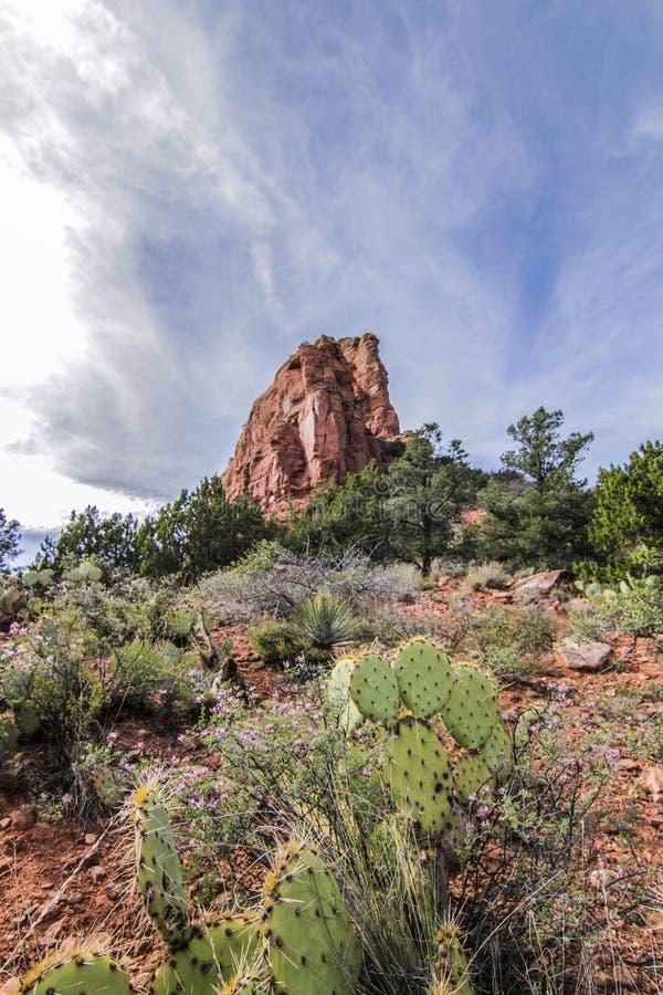 Kaktus i Arizona fotografering för bildbyråer
