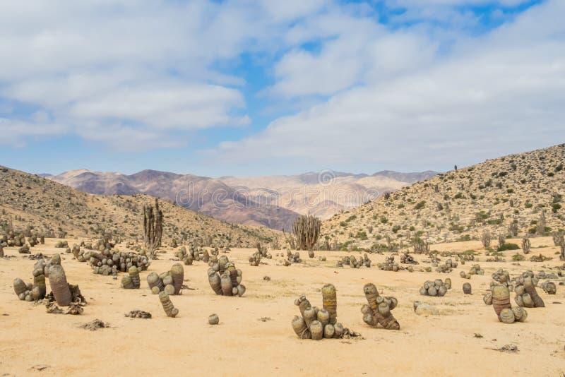 Kaktus i den Atacama öknen, Pan de Azucar National Park i Chile arkivfoton