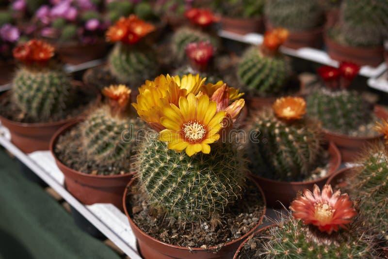 Kaktus i en blommamarknad royaltyfri foto