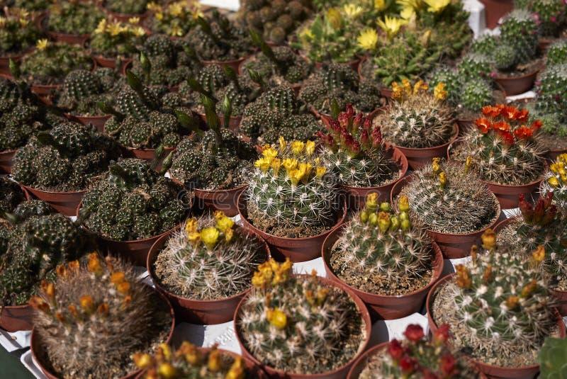 Kaktus i en blommamarknad royaltyfri bild