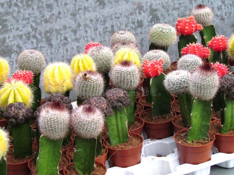 Kaktus i kwiaty kwitniemy czerwieni i koloru żółtego obrazy royalty free